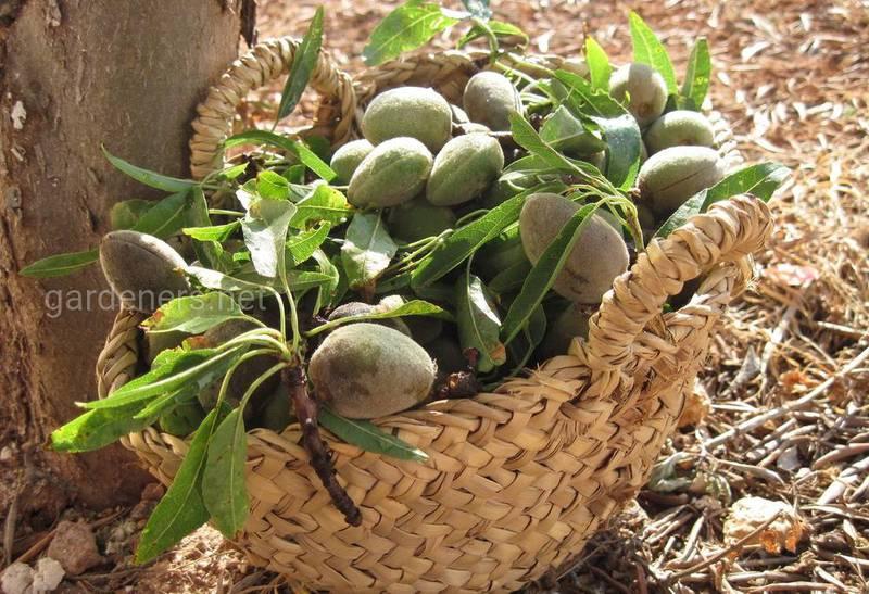Як доглядати та коли збирати врожай мигдалю?