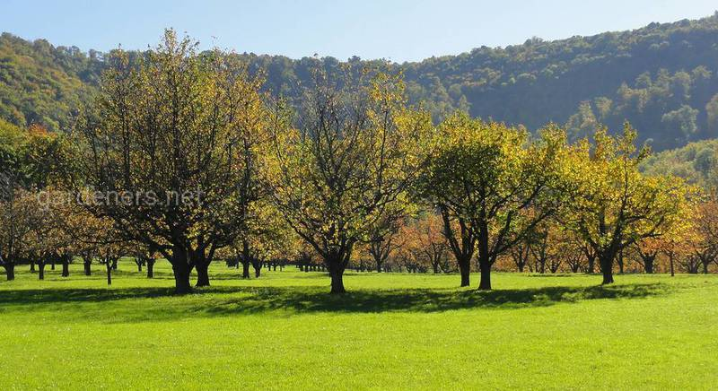 плодовые деревья.jpg