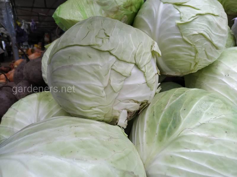 12 интересных фактов о капусте. Часть 1
