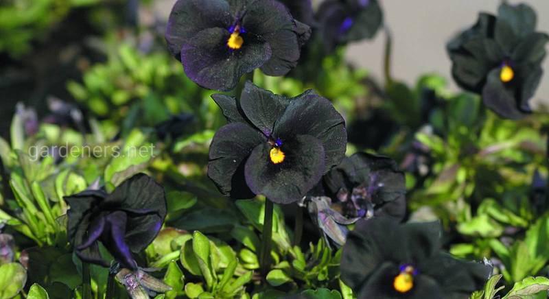Десятка невероятных черных растений. Создаем черную клумбу