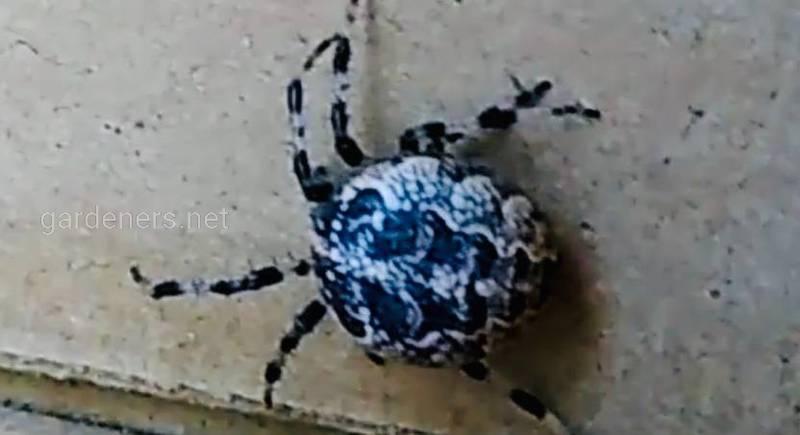 Пауки крестовики, пауки-скакуны и пауки-волки - охотники на паразитов и помощники садовода