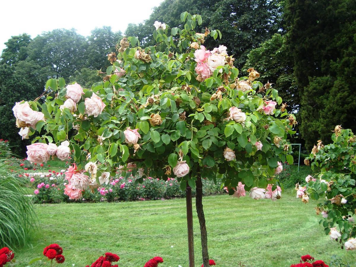 штамбовая роза в ботаническом саду