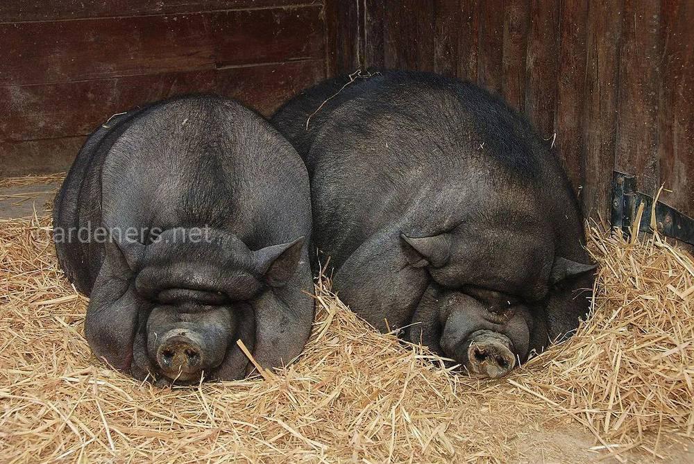 Как взвесить свинью без весов