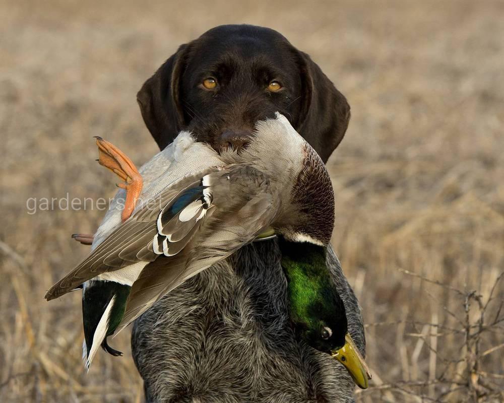Породи для полювання на птахів