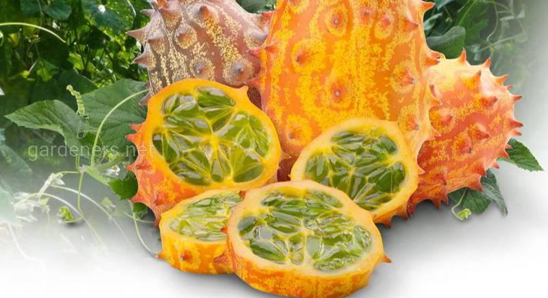 Выращивание необычного овоща (фрукта) - кивано становится все более популярным