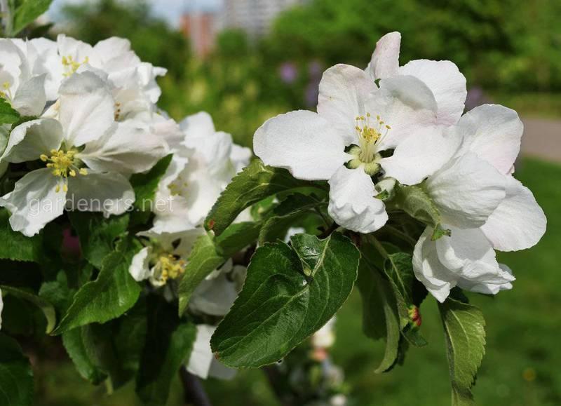 Топ-11 интересных фактов о яблоне