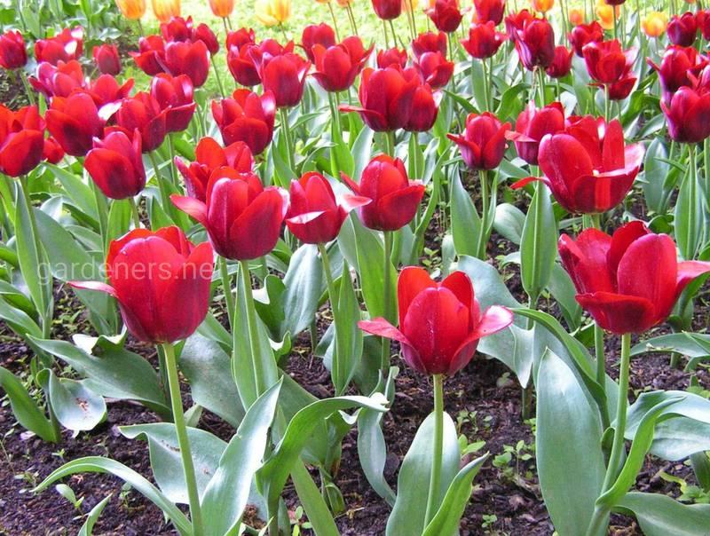 Як вирощувати цибулинні квіти?