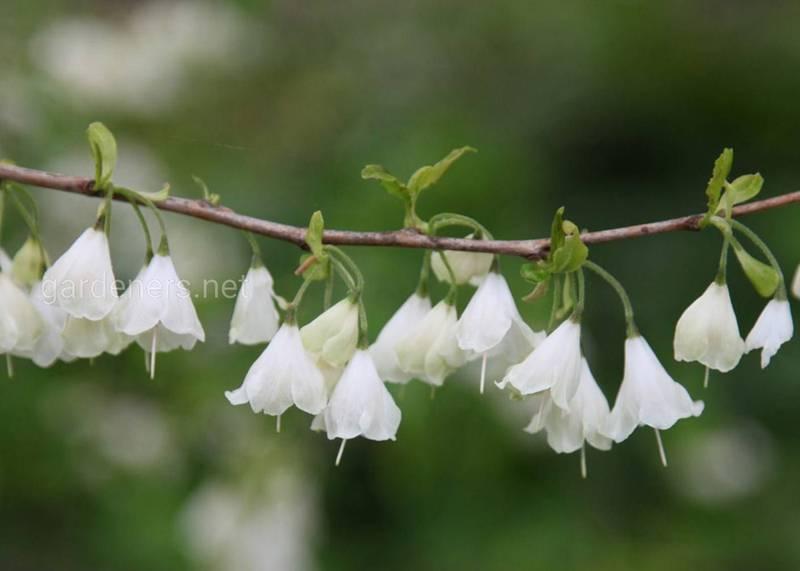 Галезия каролинская (Ландышевое дерево)