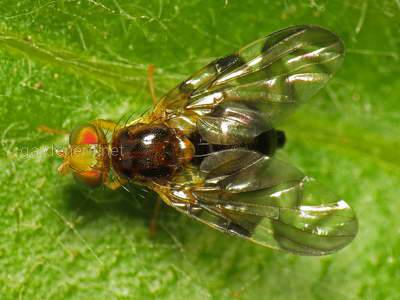 Какой вред наносит луковая муха?