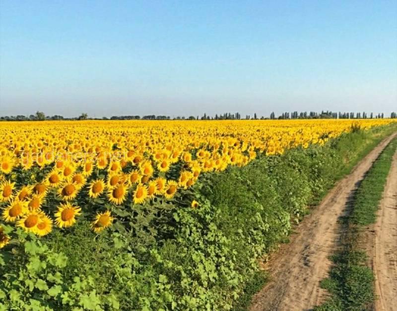 Соняшник - культура, у якої незначна кількість економічно значущих шкідників