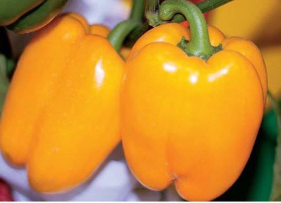 Сорт перца Соломия