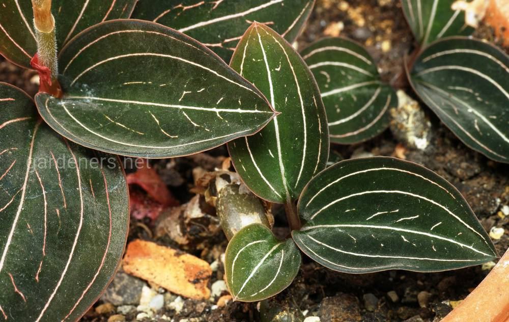 листья лудизии