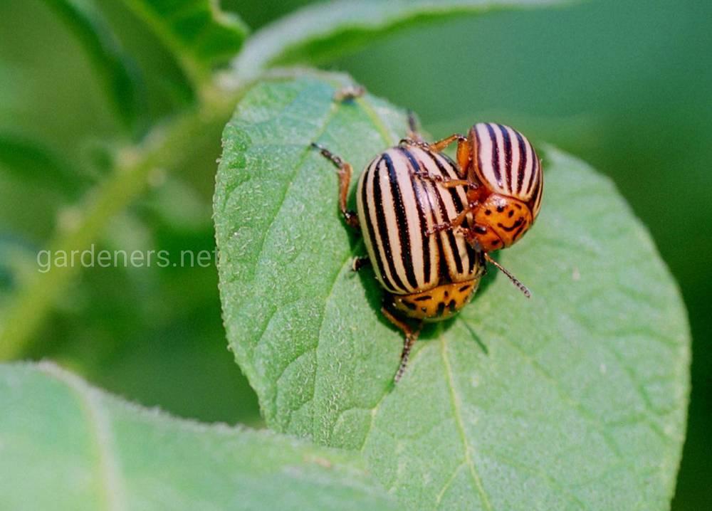 колорадский жук  в саду