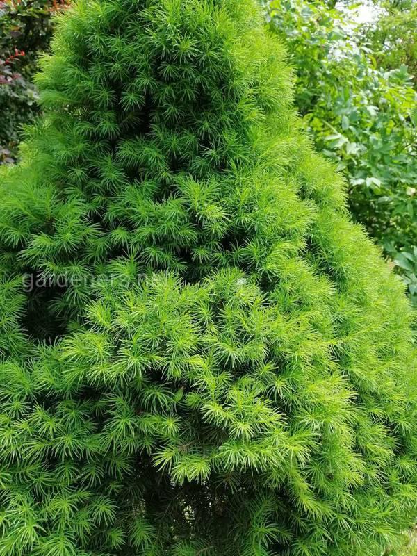 Какую сосну лучше посадить во дворе?
