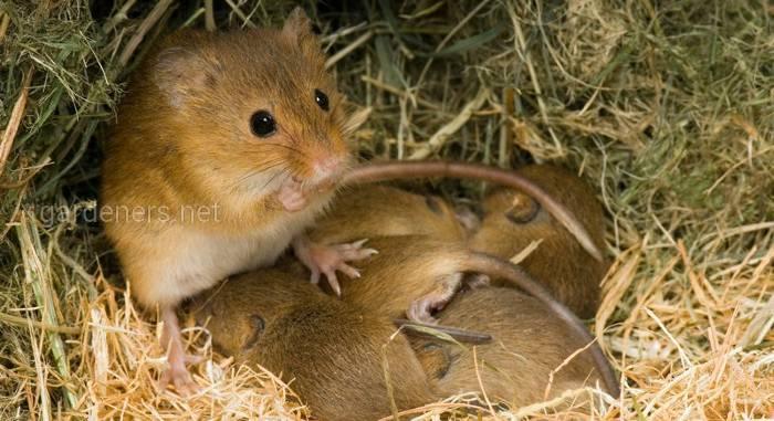 Мышь-малютка (Eurasian harvest mouse)