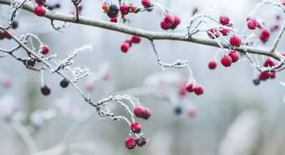 winter+berries