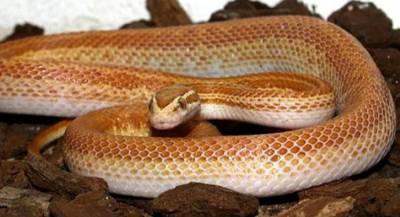 Африканская домовая змея альбинос