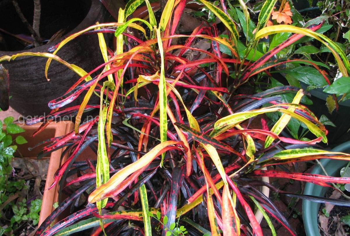 Croton Zanzibar