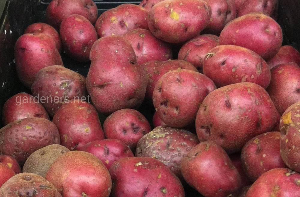 Метод Балабанова по выращиванию картофеля