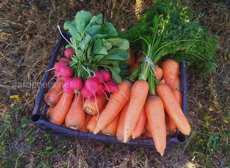 Хвороби і шкідники моркви