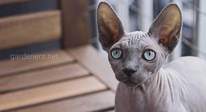 Вибираємо породу кота для алергіків