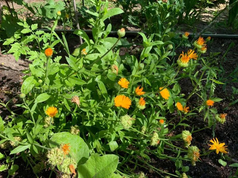 Календула: посев, сбор урожая и сушка