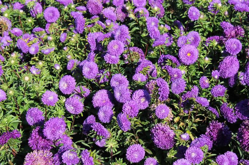 Які осінні квіти полюбляють сонце?