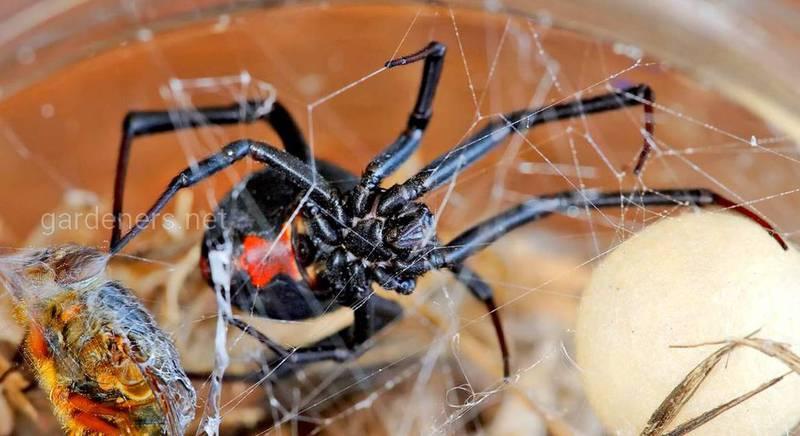 Красноспинные пауки