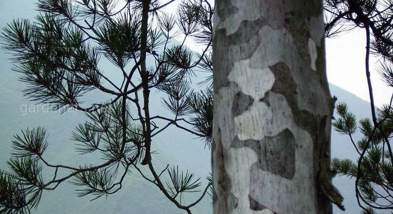 Три реліктових виду дерев китайського походження в наших краях