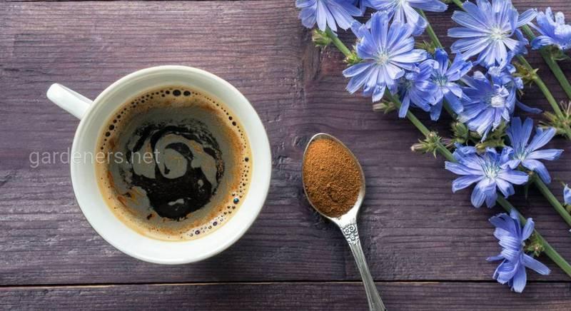 Цикорій замість кави: цілющі властивості, протипоказання та рецепти чаю