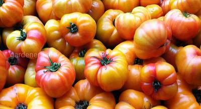 томаты биколор.jpg