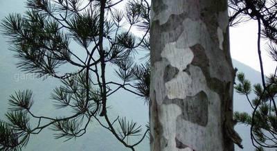реликтовые деревья Китая