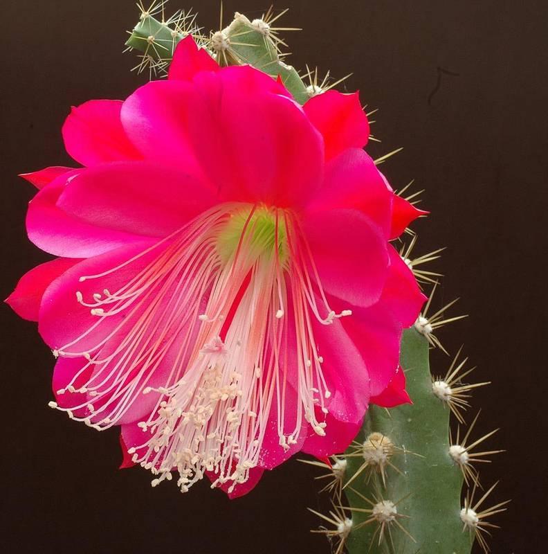 Геліоцереус, догляд за прекрасним кактусом