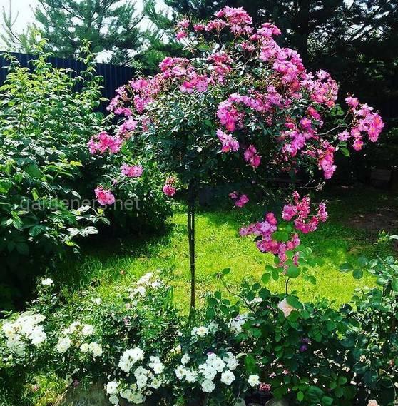 Как посадить штамбовые розы?