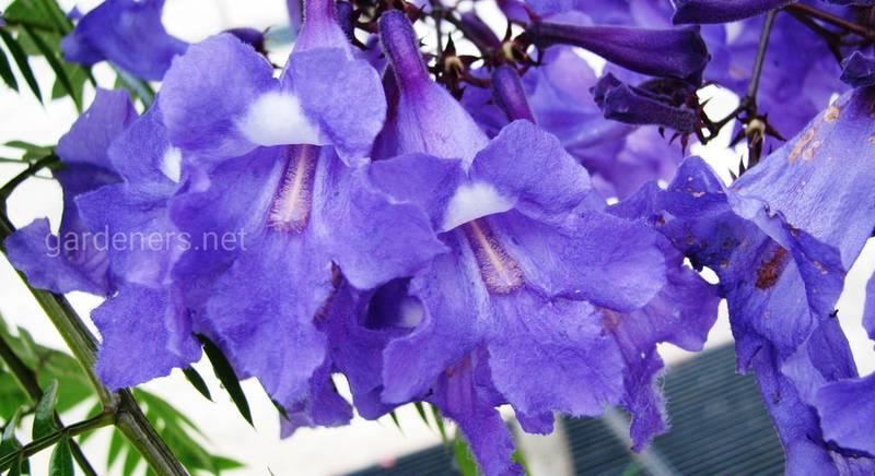 Жакаранда: как разобраться в видах декоративного дерева