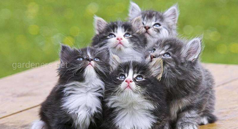 Найрозумніші породи кішок!