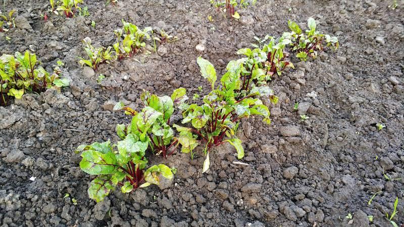 Скільки поживних речовин потрібно при вирощуванні коренеплодних культур?
