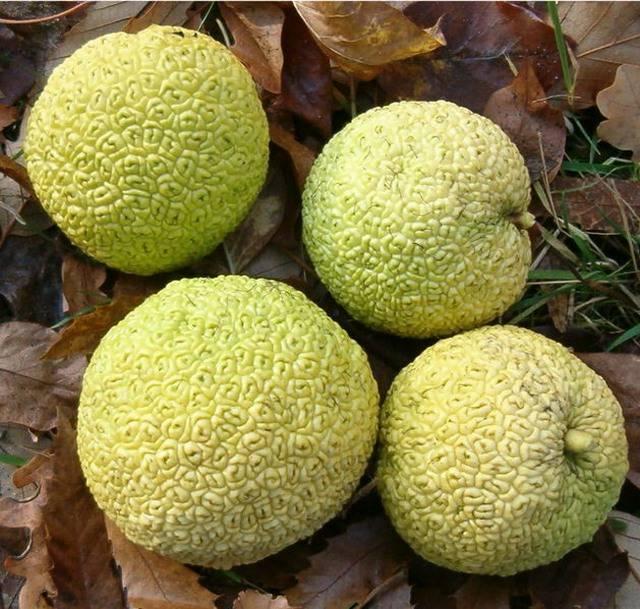 Маклюра (адамово яблоко) - полезное дерево, плоды которого похожи на апельсин!