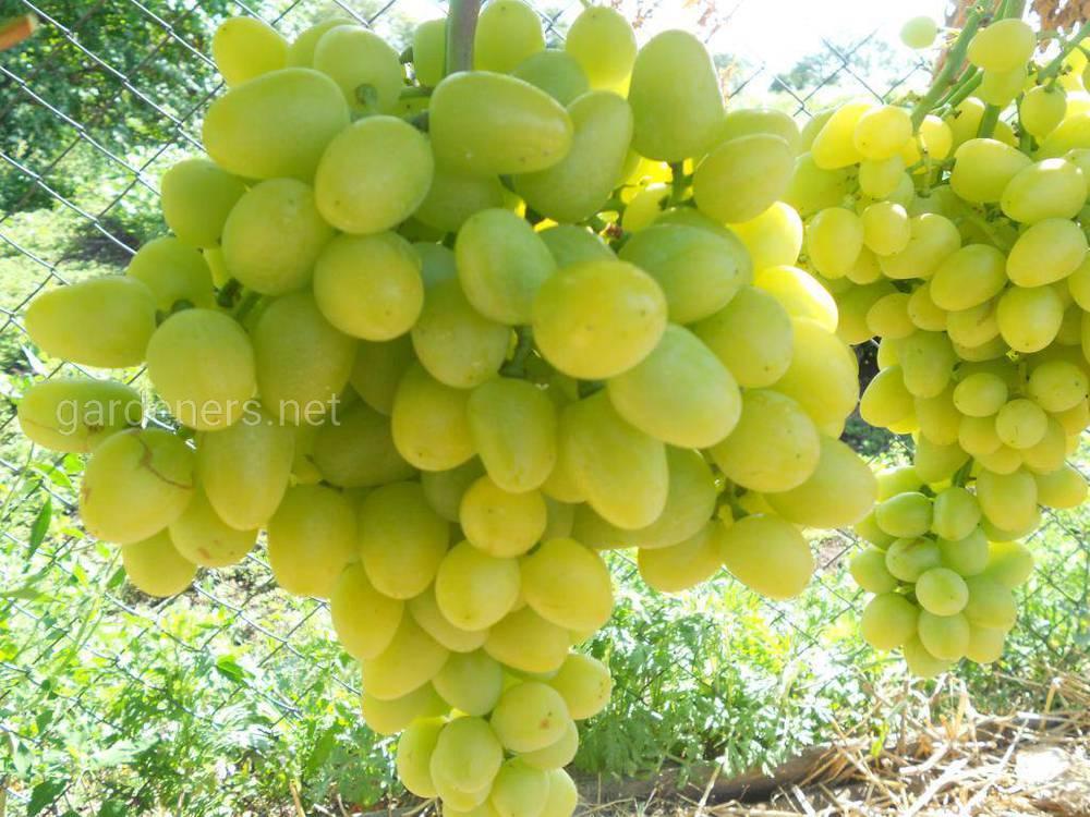 Виноград «Аркадія»