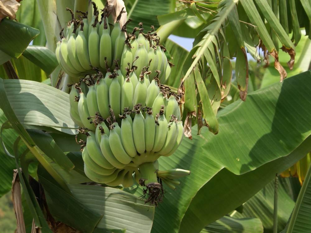 как растут мини бананы фото жизни евнухов