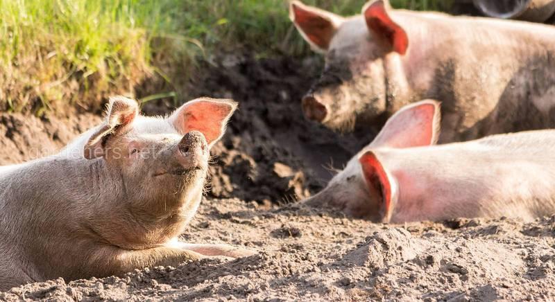 Саморобна автоматична поїлка для свиней своїми руками