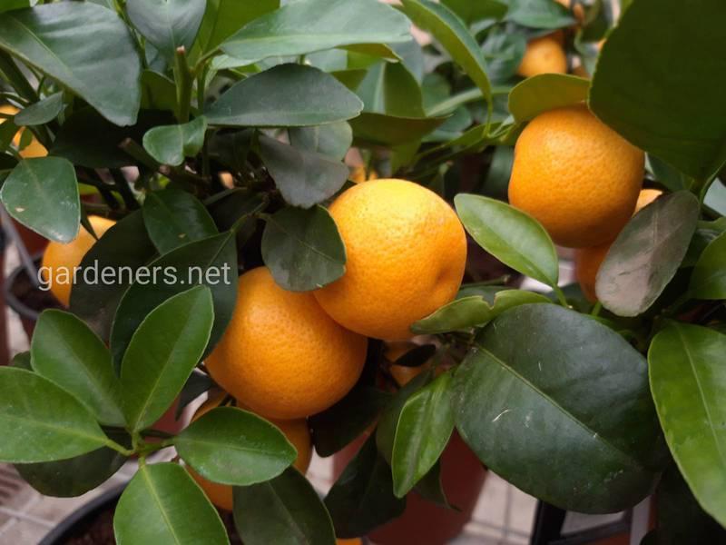 Ліки з мандарину: властивості та спосіб застосування