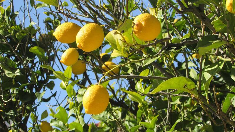 Коли краще за все обрізати лимонне дерево?