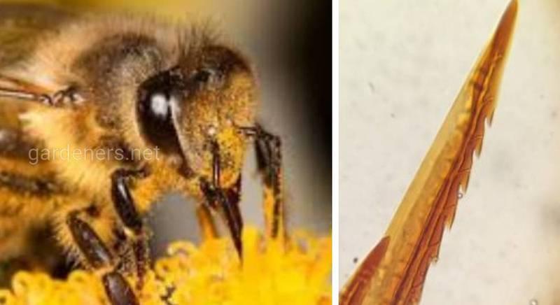 Як жалить бджола та властивості бджолиної отрути