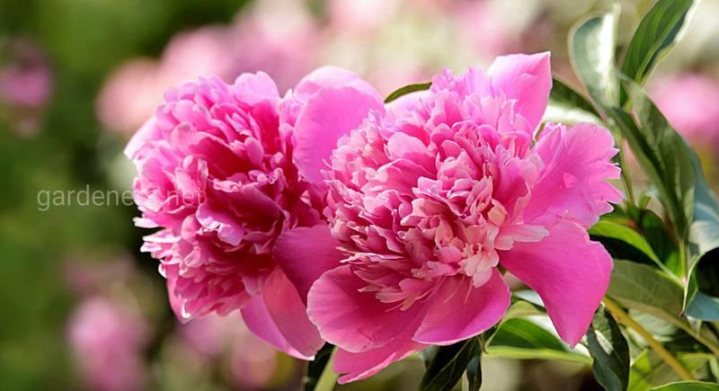 Время пионов: как ухаживать за цветами с сентября по ноябрь