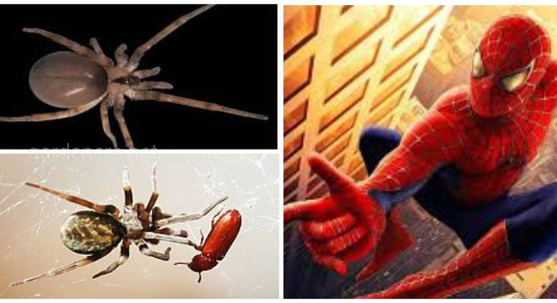 """Зірки серед арахнід! На честь акторів """"Людини-павука"""" назвали два нові види павуків з Ірану"""