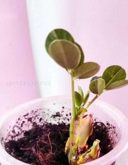 Як вирощувати арахіс в садку або в горщику?