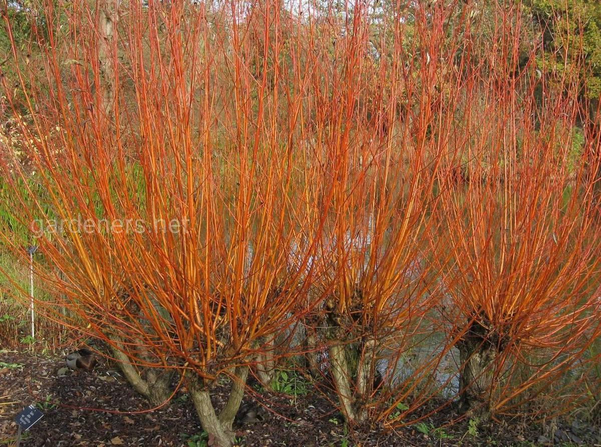 Salix alba Yelverton