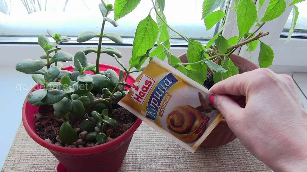 Корица против плесени в цветочных горшках