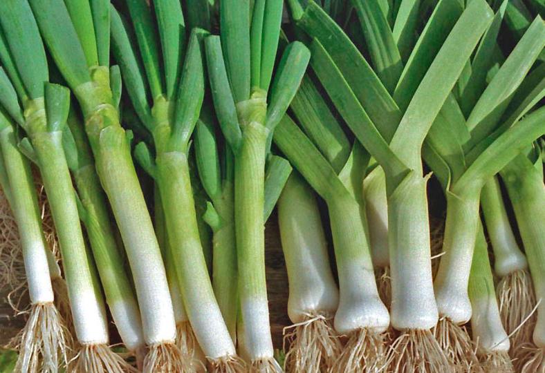 Як успішно вирощувати цибулю-порей?
